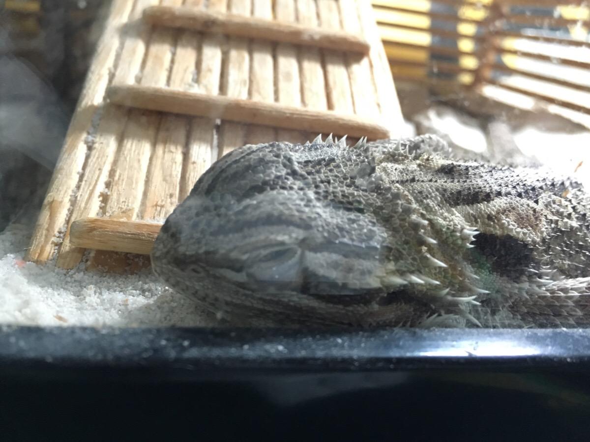 フトアゴ寝起き顔