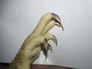 フトアゴヒゲトカゲと爪切り3