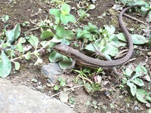 カナヘビ1