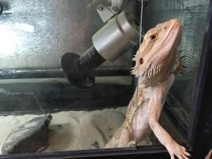 フトアゴヒゲトカゲはガラス戸を開けられる?