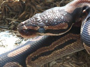 ヘビの目玉真っ白1