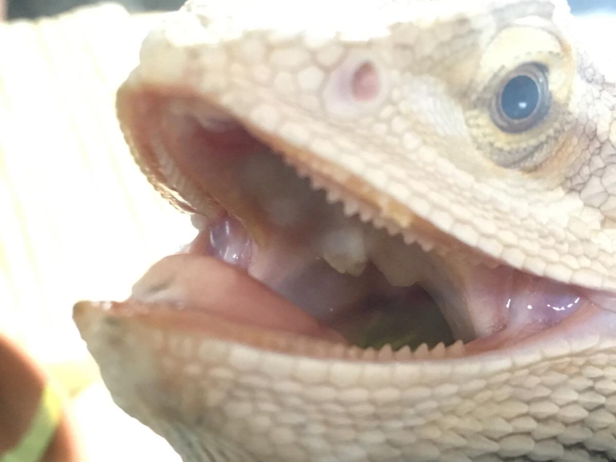 フトアゴヒゲトカゲと歯並び2
