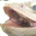 フトアゴヒゲトカゲと歯並び