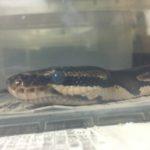 ヘビと脱皮の前兆