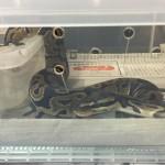 ヘビ引っ越し2