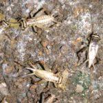ヨーロッパイエコオロギ01