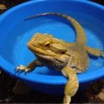 フトアゴヒゲトカゲはじめてのお風呂