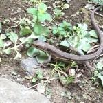 玄関前のカナヘビのお話